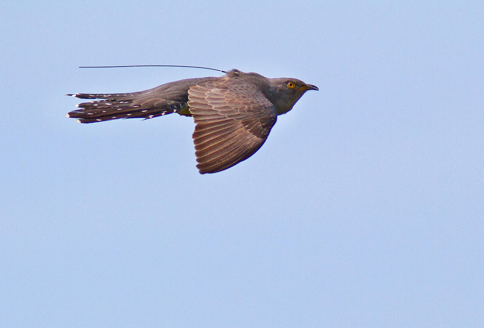 Scientists were able to follow individual Common Cuckoos with satellite tags often used on larger birds. Palle Sørensen