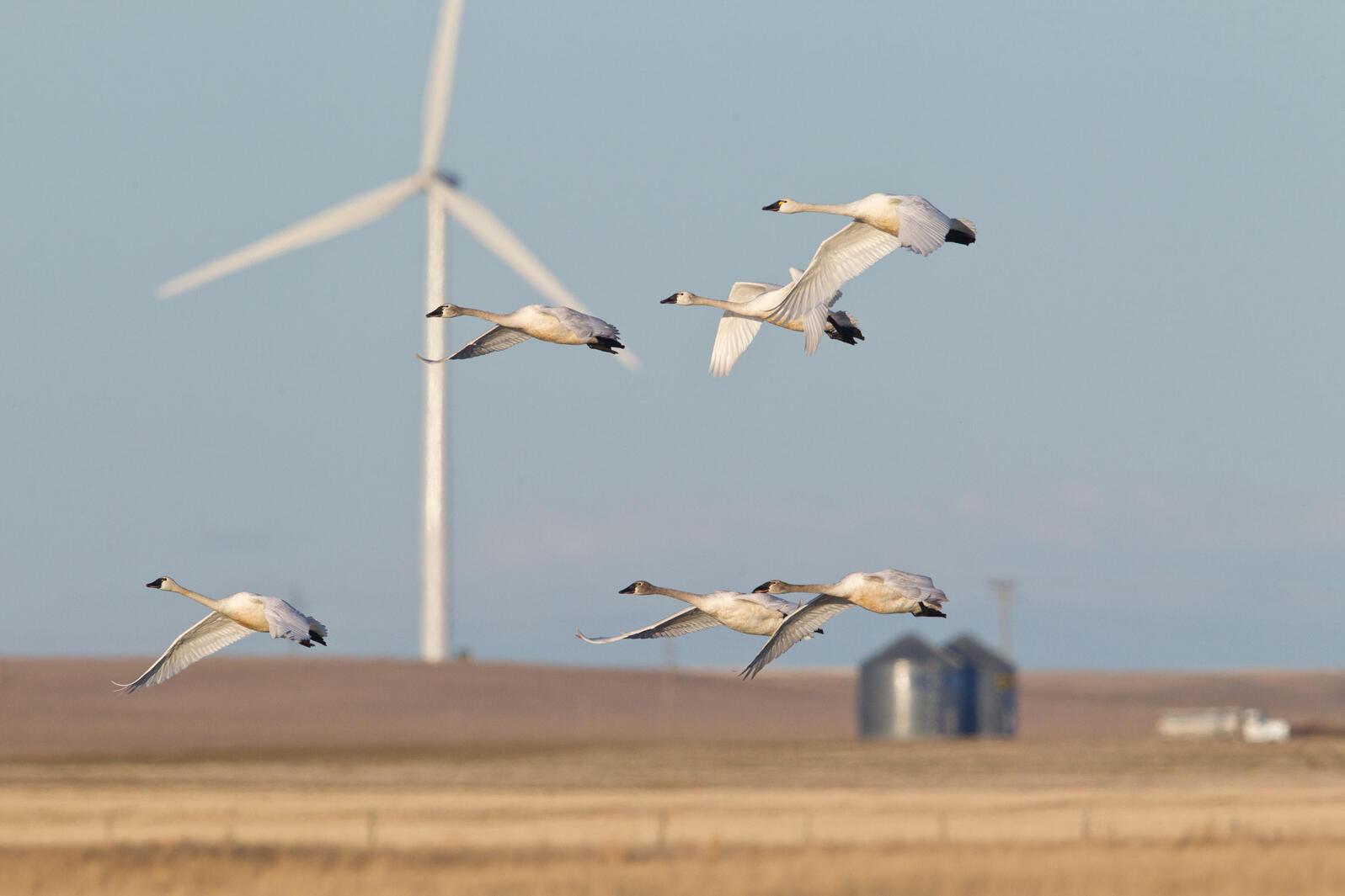 Tundra Swans. Donald M. Jones/Minden