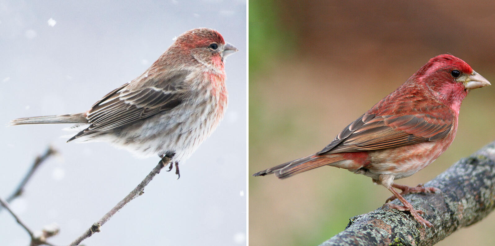 Left: House Finch. Photo: Michele Black/Audubon Photography Awards; Right: Purple Finch. Photo: Alan Schmierer/Flickr (CC0 1.0)
