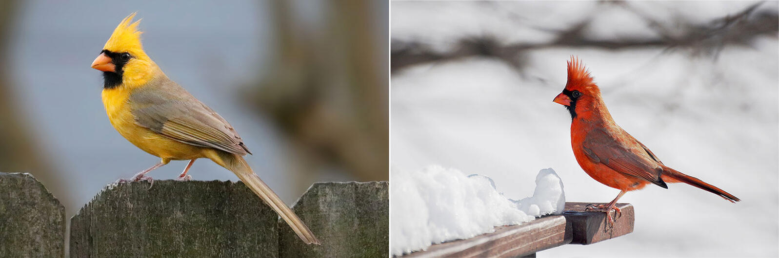 The bombshell yellow Northern Cardinal from Alabama (left) compared to a regular old Northern Cardinal (right). Photos: Jeremy Black Photography; Diane Wurzer/Audubon Photography Awards
