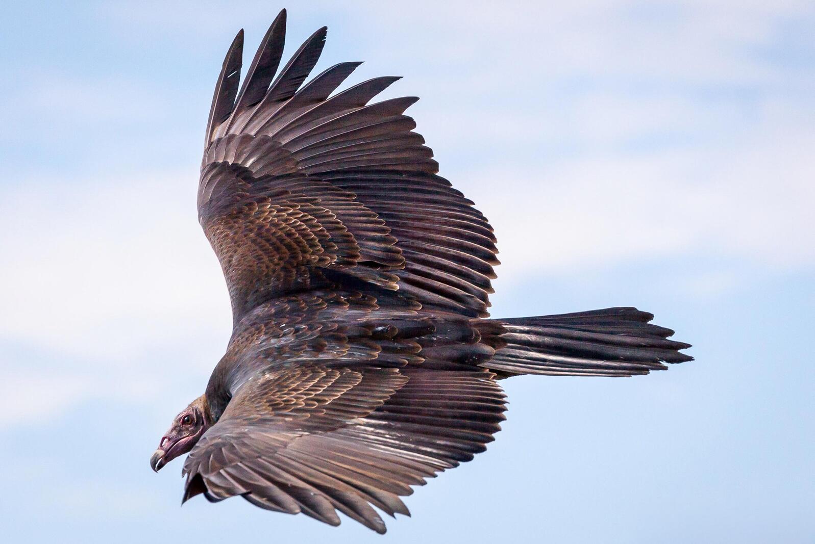 Turkey Vulture. John Comisky/Audubon Photography Awards