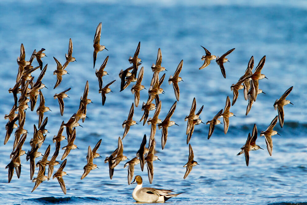 Western Sandpipers, a species similar to the Dunlin, form tight flocks that can rapidly switch direction. In this photo, there are several Dunlin mixed in with the flock of Western Sandpipers. Credit: Ron Horn