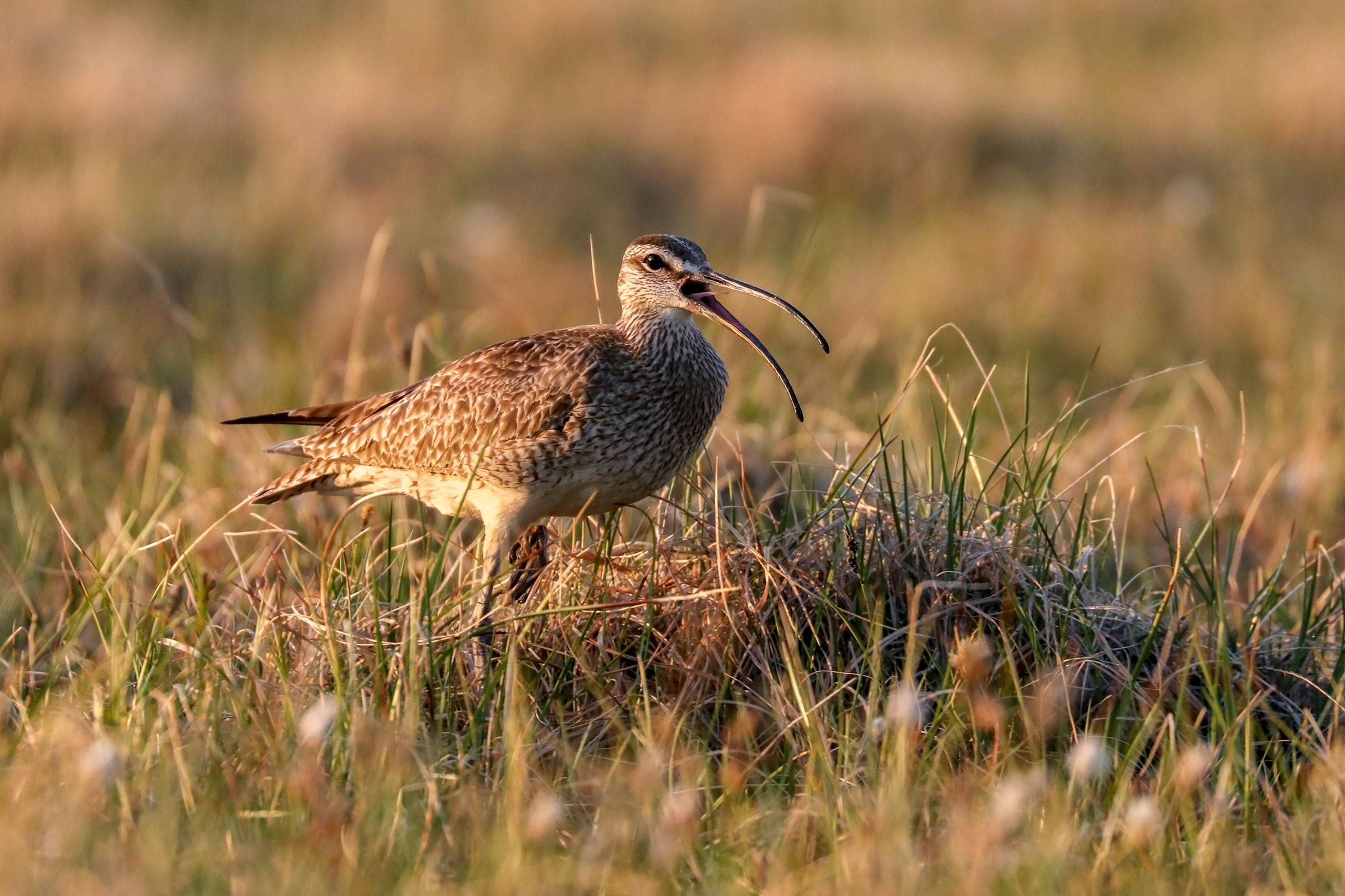 Whimbrel in the Manomet study site in the Arctic National Wildlife Refuge. Shiloh Schulte/USFWS
