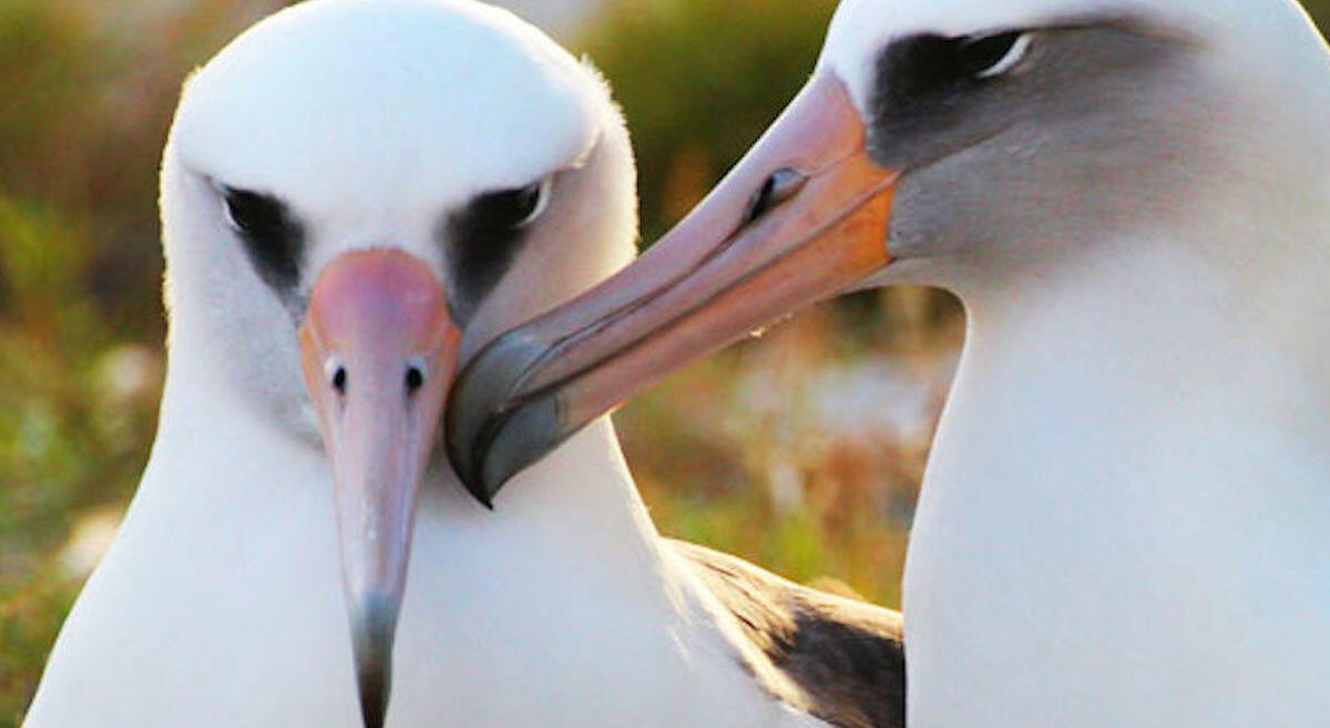 Wisdom is the oldest known wild albatross at 68 years old, and recently hatched a new chick on Midway Atoll. Kiah Walker/USFWS