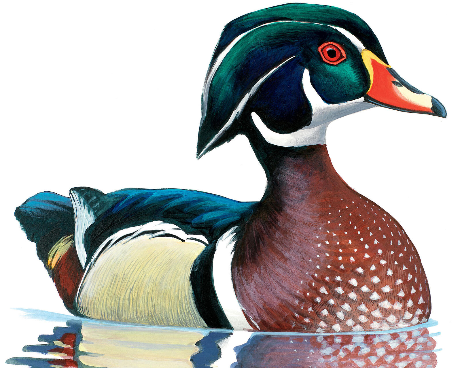 A male Wood Duck looking his best. Illustration: David Allen Sibley