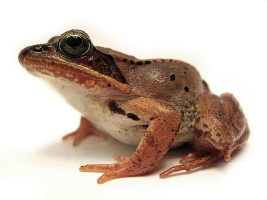 A wood frog. Photo byDave Huth via Flickr Creative Commons Dave Huth/Flickr Creative Commons