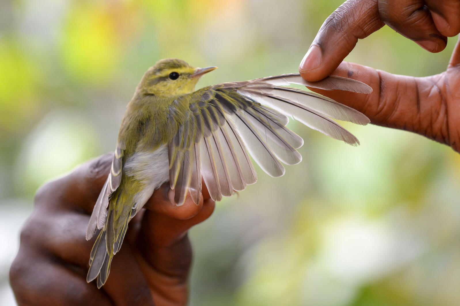 A molting Wood Warbler is posed with its wing outstretched during bird banding on a cocoa farm in Cameroon. Crinan Jarrett