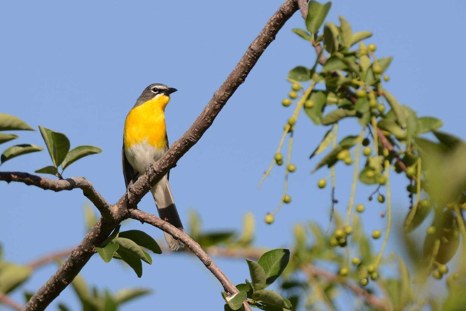 Yellow-breasted Chat. Mike Charest