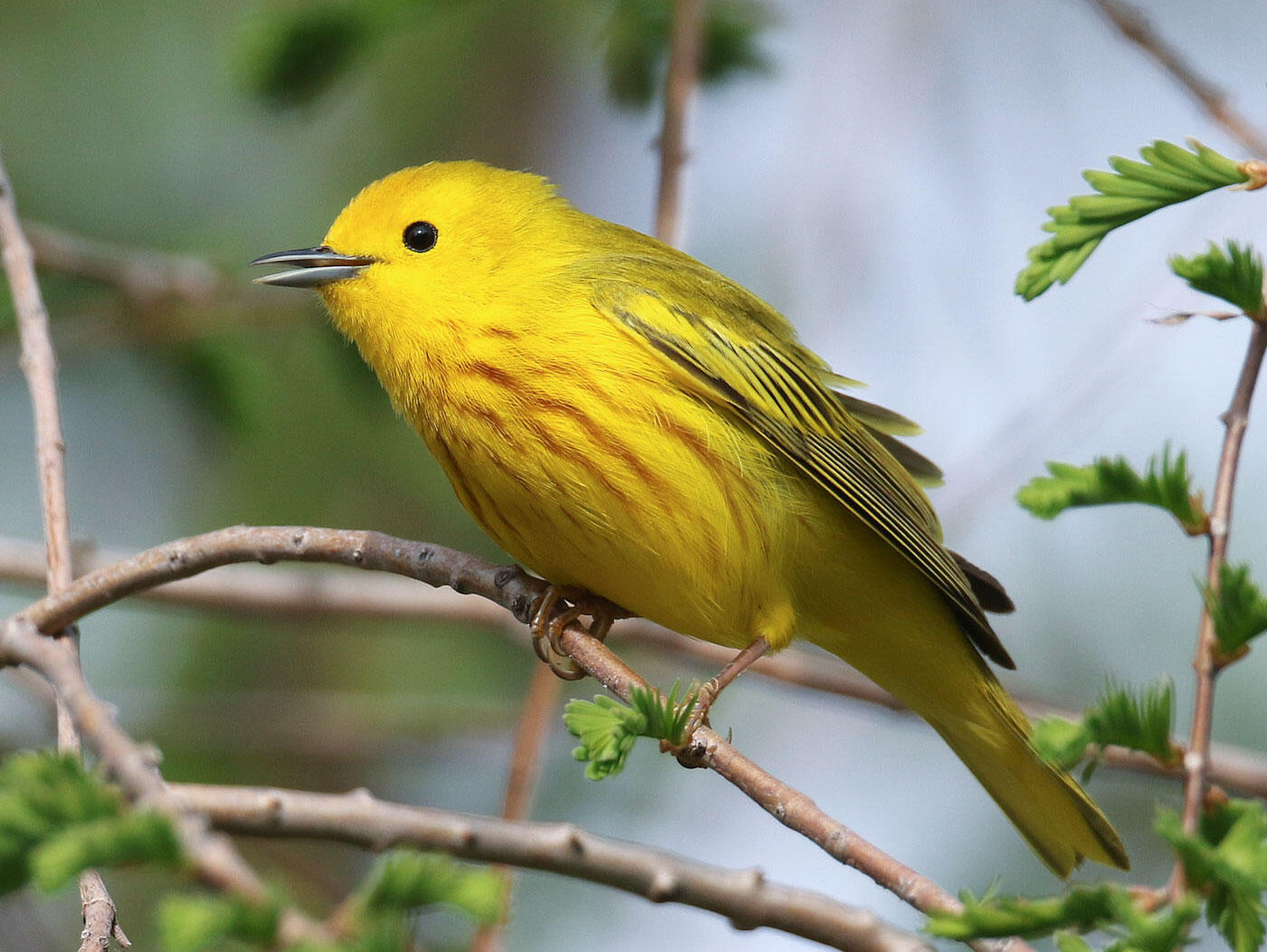 The Yellow Warbler has a sweet, sweet, sweet song and sweet, honey-colored plumage. Tom Stephenson