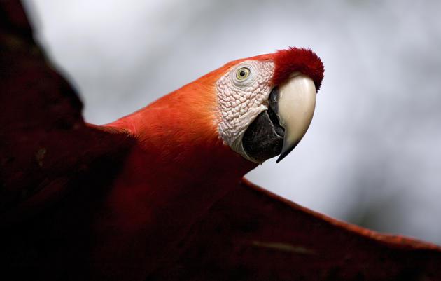 A scarlet macaw Ingo Arndt/Minden Pictures