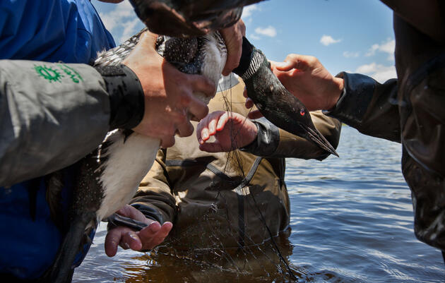 Luring a Common Looninto a net can take hours, but once scientists capture their quarry, they need only 15 minutes to band, weigh, measure, and take blood and feather samples before releasing it. Connor Stefanison.