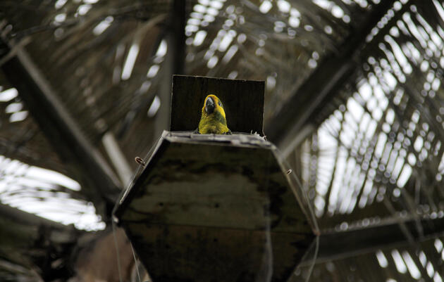 A young parrot waits in an artificial nest box in a quindío for its parents to return with food. Photograph by Pablo Corral Vega