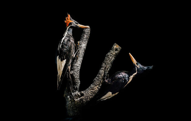 Possible Ivory-Billed Woodpecker Footage Breathes Life Into Extinction Debate