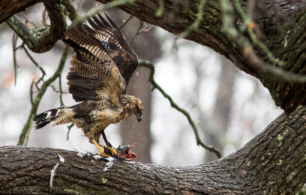 A Mexican Hawk in Maine Has Somehow Survived Two Snowstorms