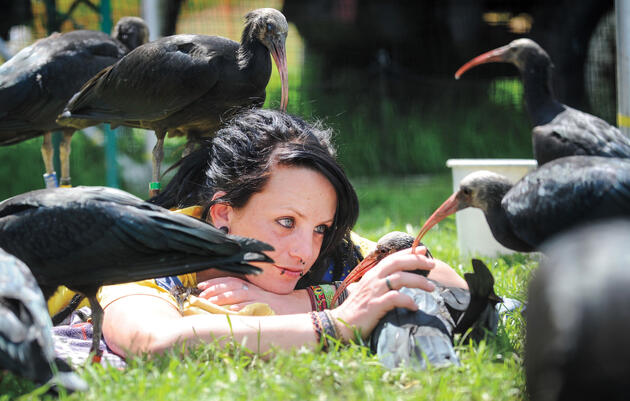 Raising Northern Bald Ibis Chicks Requires a Lot of Cuddle Time ... and Spit