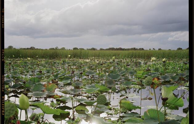Lotus pads on Lake Okeechobee, in Florida. Katherine Wolkoff