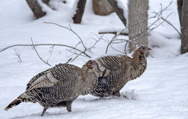 Wild Fact About Wild Turkeys: They Come in a Cornucopia of Colors