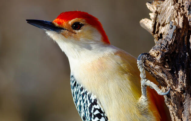 7 Weird Facts About Woodpeckers