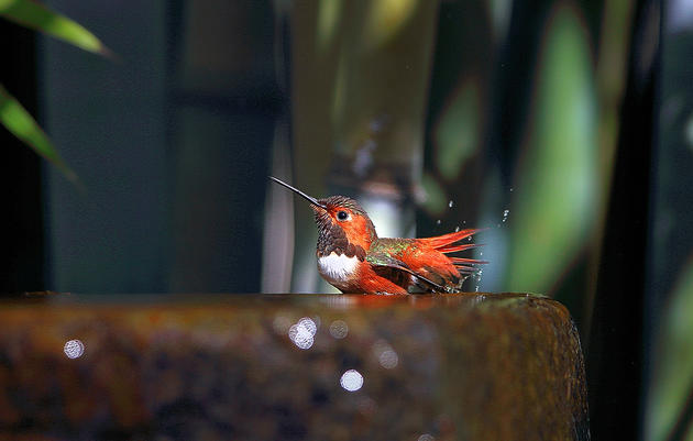 Hummingbirds at Home FAQ
