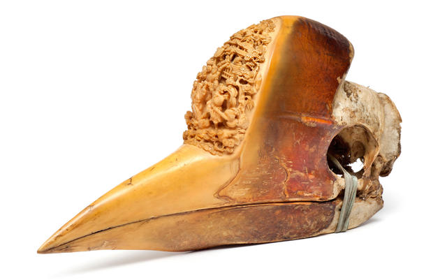 Rare Helmeted Hornbills Found on Black Market