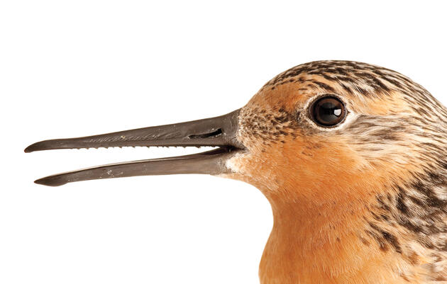 """A Red Knot smiles for the camera. The serrations on the inside of its bill help it grip slippery things. They look like the """"teeth"""" on a saw, but they're not real teeth, so the Red Knot never has to go to the dentist! Joel Sartore."""