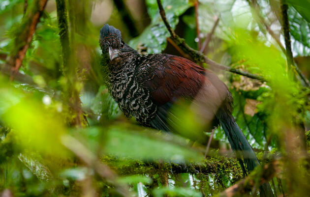 Rare Photos Reveal the Secretive Life of the Banded Ground-Cuckoo