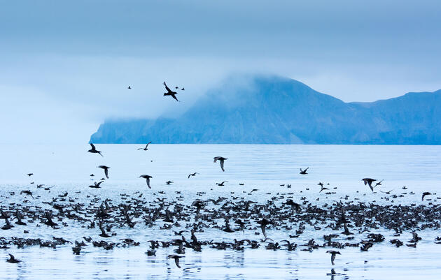 It's been estimated that this annual gathering of Short-tailed Shearwaters could total 16 million birds, but getting a hard count is tough. Florian Schulz