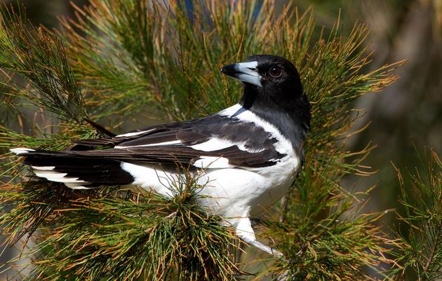 Pied Butcherbirds, Virtuosos of the Bird World, Croon Like Jazz Singers