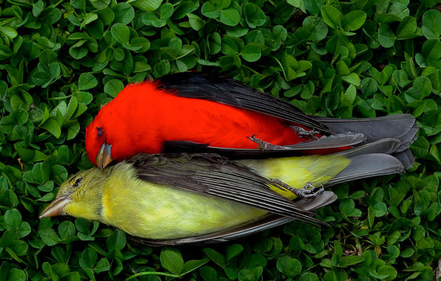 An Ode to Two Tanagers
