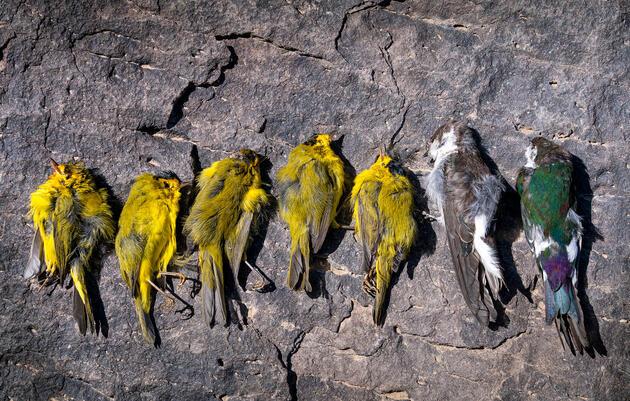 The Southwest Is Facing an 'Unprecedented' Migratory Bird Die-Off
