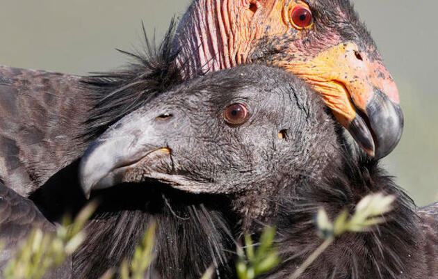 Condor Chick Has Two Mommies