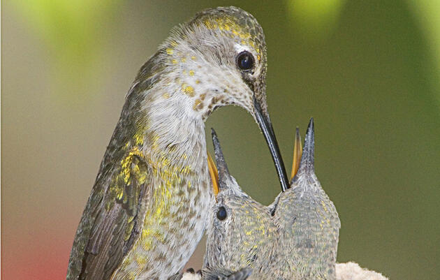 The Gift of Caring for Baby Hummingbirds
