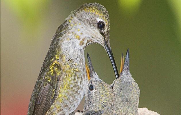 Anna's Hummingbird feeds chicks in nest (Calypte anna). Irvine, California Photo by Hal Beral