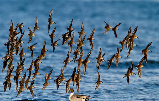 Arctic-Breeding Shorebird Populations Are Plummeting, with No Single Culprit