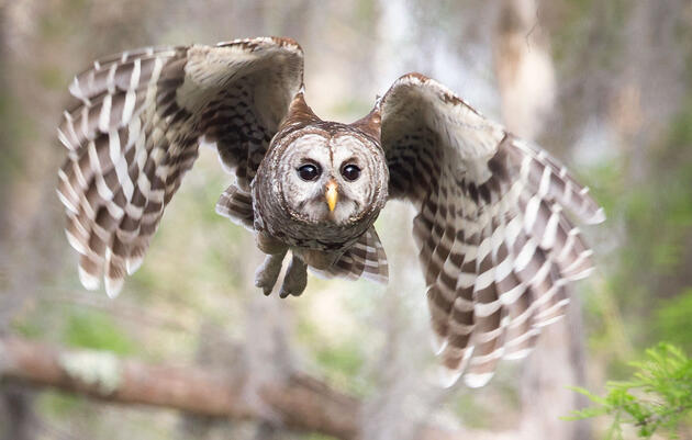 Hear the Many Different Hoots of the Barred Owl