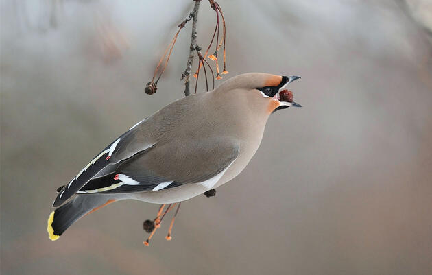Here's How to Become a Bohemian Waxwing for Halloween