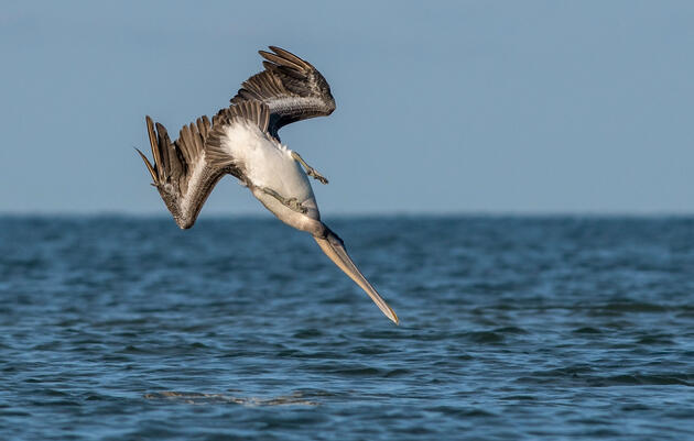 How Brown Pelicans Dive After Fish Without Breaking Their Necks