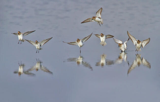 How the Peregrine Falcon Comeback Has Forced Dunlins to Adapt