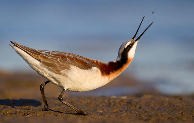 Oregon Lake and Its Birds at Risk from Low Water Levels, High Salt Content