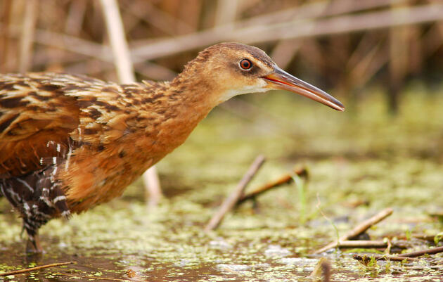Louisiana Coastal Restoration Project Vital to People and Birds Takes Major Step Forward