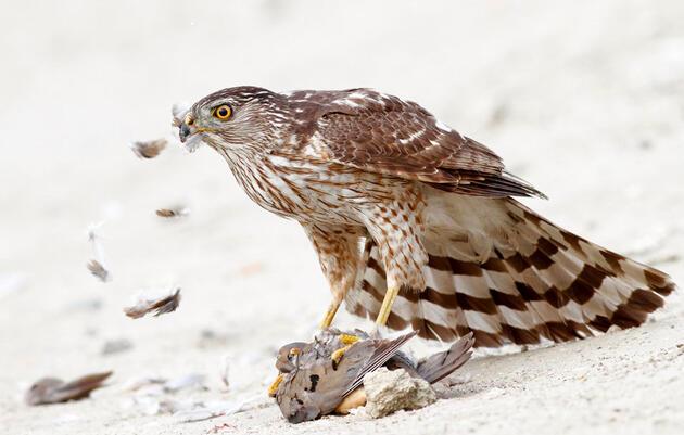 Cooper's Hawk | Audubon Field Guide
