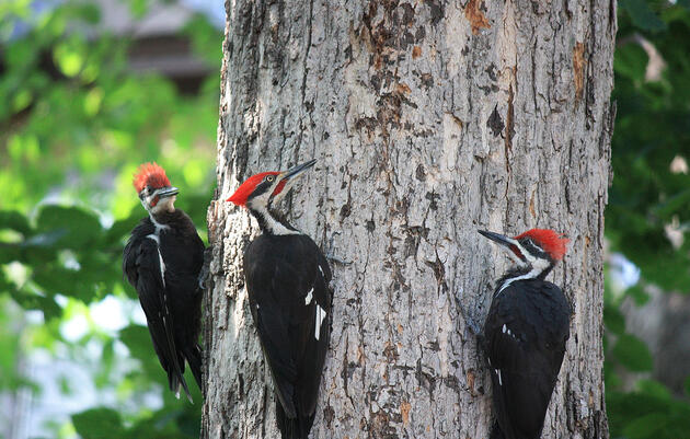 Hear the Differing Drumbeats of Woodpeckers