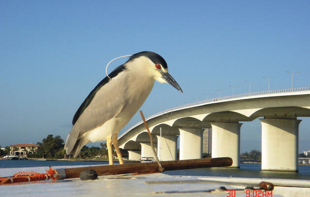 Is this Black-crowned Night-Heron really bigger than a bridge? Perspective can change everything in birding. Chuck Seamens/Audubon Photography Awards