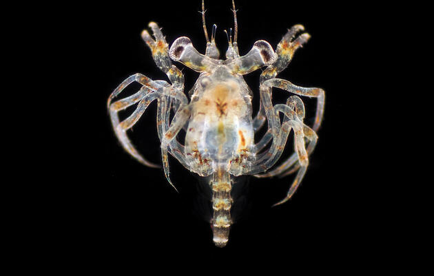 A crab megalopa larva, magnification x 40. This larval stage is short-lived, and invdividuals feed voraciously on other zooplankton. After about a week, the megalopa sinks to the sea bed where it molts into a juvenile crab. Richard R. Kirby