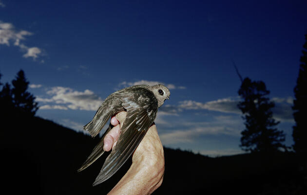 Out of the Shadows: Black Swifts, North America's Most Mysterious Birds