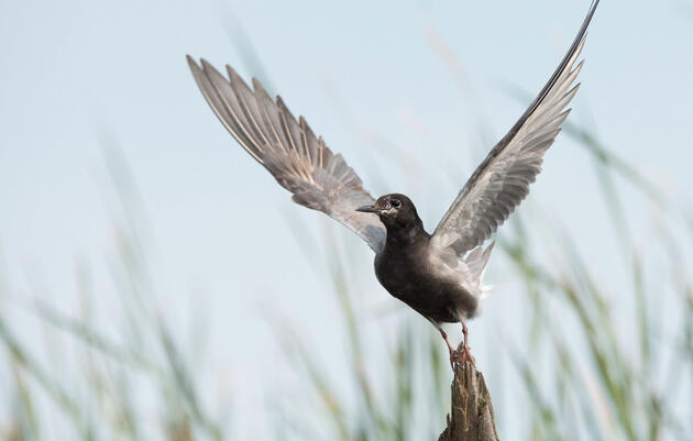 Audubon Urges Support for Bill to Restore Great Lakes