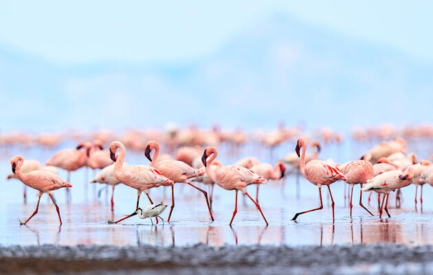 Flamingos Can Forge Long-Lasting Friendships—and Rivalries