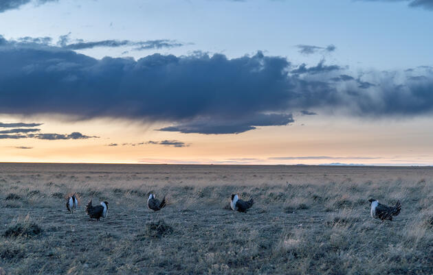 Greater Sage-Grouse Populations Have Plunged by 80 Percent Since 1965