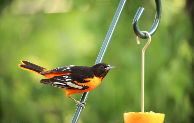 Baltimore and Bullock's Oriole hybrids are common around the Great Plains. Kevin Jordan/Great Backyard Bird Count