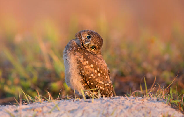 Burrowing Owl. Barb D'Arpino/Audubon Photography Awards